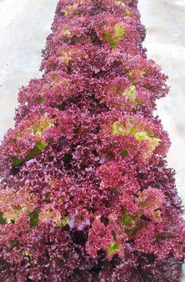 紅捲萵苣1